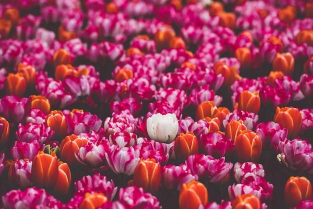 Campo de tulipanes multicolor en los países bajos
