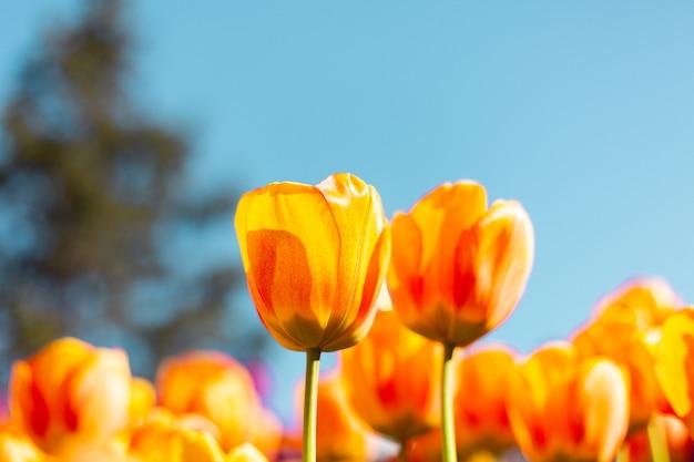 Un campo de tulipanes naranjas ardientes en los rayos de la luz del día brillante de verano