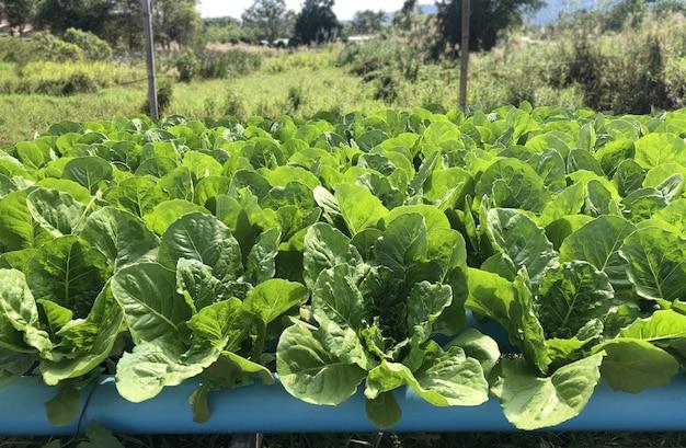 Campo de vegetales hidropónicos de hoja verde con watr paipe suelo no utilizado