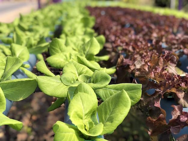 Campo de vegetales hidropónicos de hoja verde