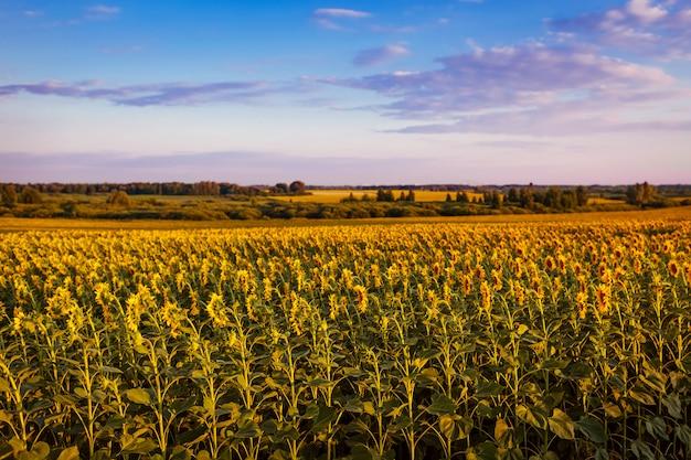 Campo de verano de girasoles florecientes al atardecer con cielo azul arriba