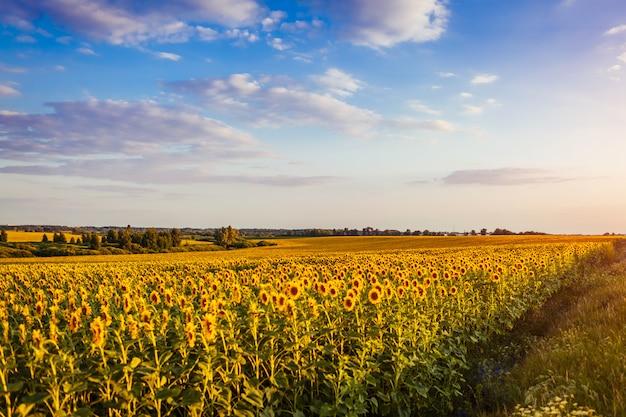 Campo del verano de girasoles florecientes en la puesta del sol con el cielo azul arriba.