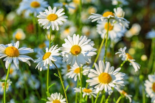Campo de verano de margaritas florecientes al sol