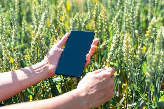 Campo verde con centeno y teléfono inteligente en manos de los agricultores