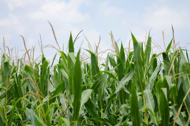 Un campo verde de maíz en la india
