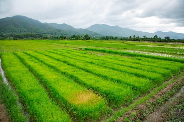 Campo verde de planta de arroz con agua.