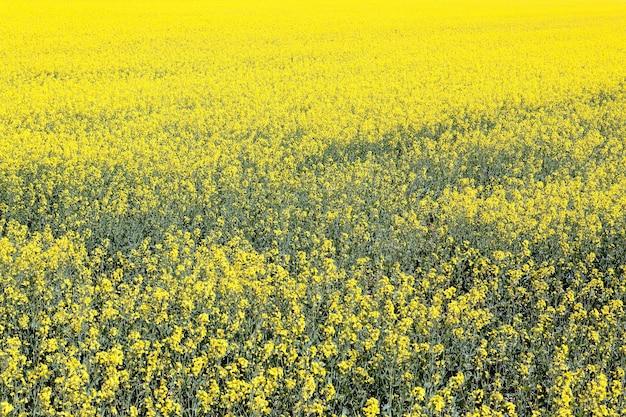 Campo de violación amarillo en el país francés en verano