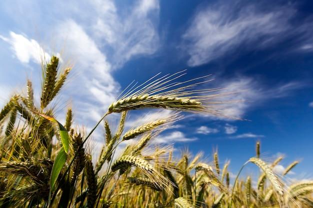 Campos agrícolas en los que crecen espigas de centeno