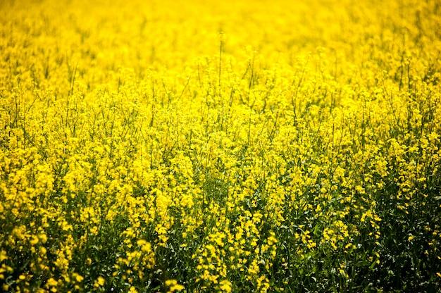 Campos de agricultura amarilla