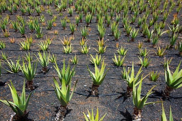 Campos de aloe vera en lanzarote orzola en canarias