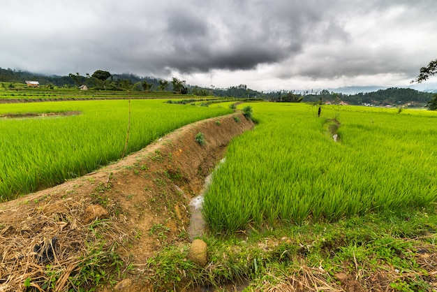 Campos de arroz de sulawesi