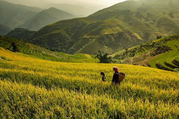 Campos de arroz en terrazas en muchangchai, campos de arroz preparan la cosecha en el noroeste de vietnam.