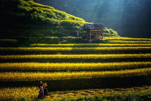 Campos de arroz en terrazas en muchangchai, campos de arroz preparan la cosecha en los paisajes del noroeste de vietnam.