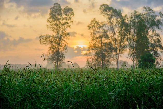 Campos de arroz en el tiempo de la mañana