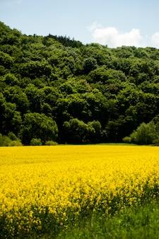 Campos de colza amarilla