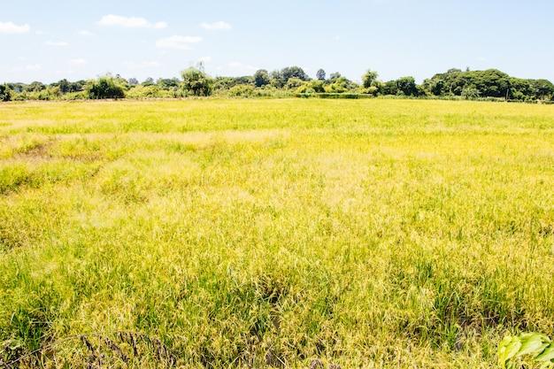 Los campos están llenos de arroz dorado, el cielo y las nubes son el fondo.