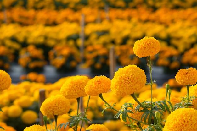 Campos de flores de caléndulas naranjas, enfoque selectivo