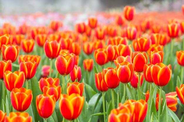 Campos de flores de tulipán naranja