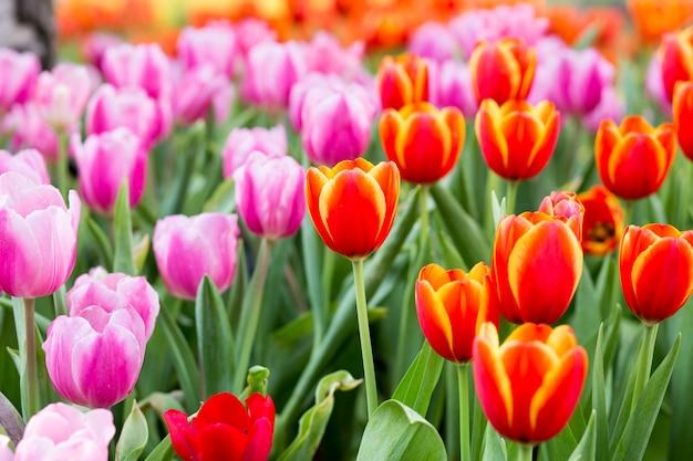 Campos de flores de tulipán