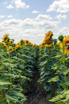Campos con un girasol infinito. campo agrícola.