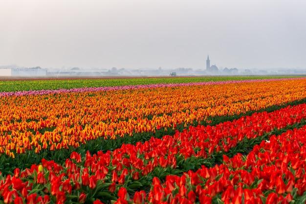 Campos hermosos de los tulipanes en los países bajos en primavera debajo de un cielo de la salida del sol, amsterdam, países bajos