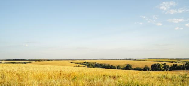 Campos interminables de trigo dorado. concepto de cosecha. paisaje de verano con colinas, campo y cielo azul, panorama. formato de banner.