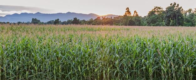 Campos de maíz antes de que se ponga el sol