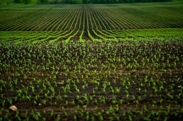 Campos de maíz