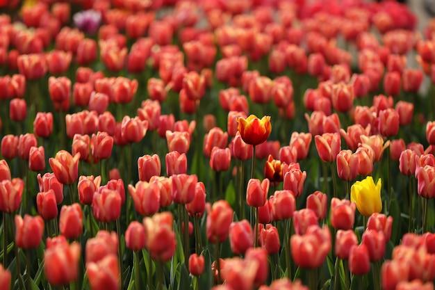 Campos en los que florecen los tulipanes rosa.