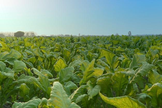 Campos de tabaco y cielo de la tarde.