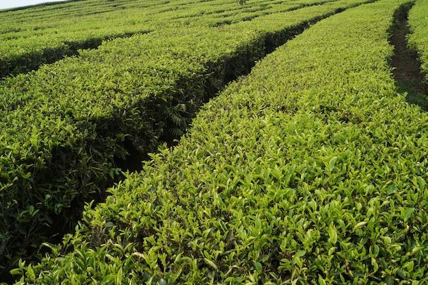 Campos de té verde fresco