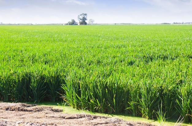 Campos verdes de arroz