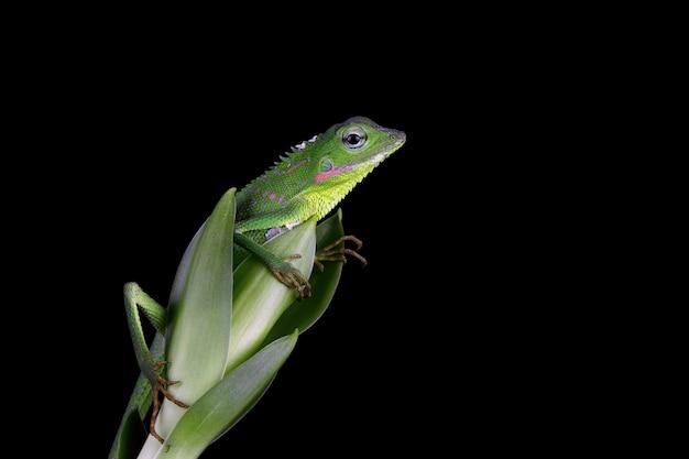Camuflaje de lagarto jubata verde bebé en hojas verdes sobre negro