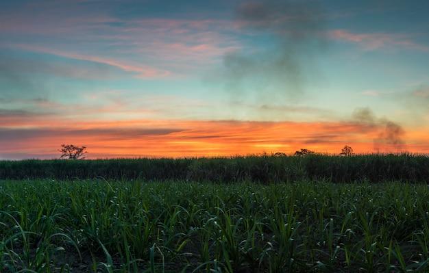 Caña de azúcar con el fondo de la naturaleza de la fotografía del cielo del atardecer del paisaje.