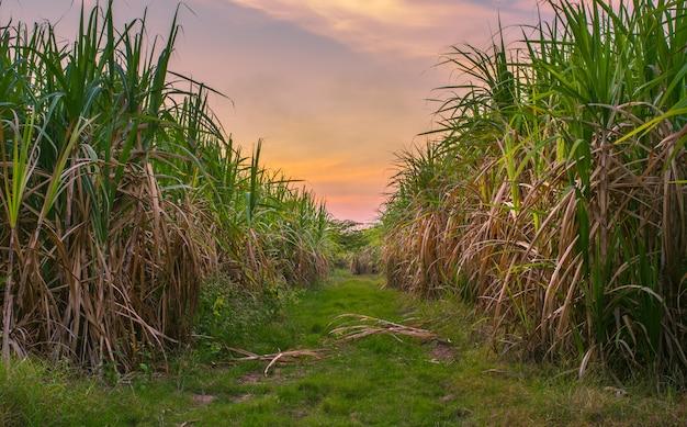 Caña de azúcar con el fondo de la naturaleza de la fotografía del cielo de la puesta del sol del paisaje.