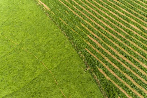 La caña de azúcar hasvest plantación aérea. vista aérea superior de los campos de una agricultura. granja de caña de azúcar.