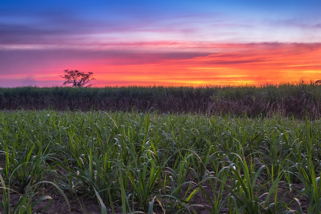 Caña de azúcar con la naturaleza de la fotografía del cielo de la puesta del sol del paisaje.