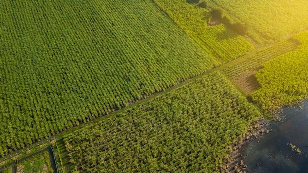 Caña de azúcar o agricultura en zonas rurales de ban pong, ratchaburi, tailandia