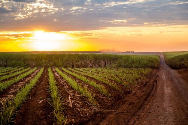 Caña de azúcar puesta de sol plantación hermosa