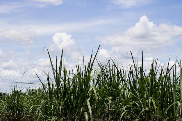 La caña de azúcar voló con el cielo azul para el fondo, naturaleza.