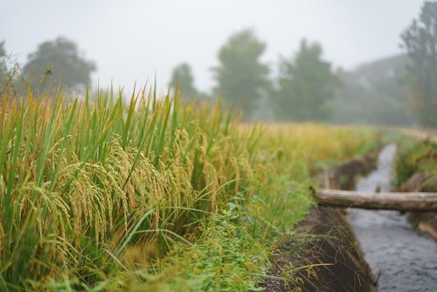 Canal de agua junto al campo de arroz.