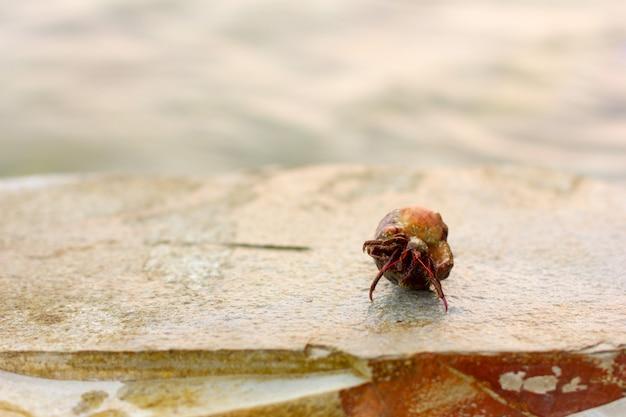 Cáncer ermitaño en una concha en una roca contra el mar, enfoque selectivo