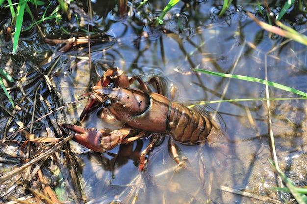 Cangrejo de río en un estanque en francia
