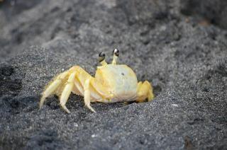 Cangrejos en la playa de negro, cáscara