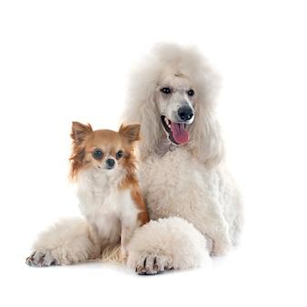 Caniche blanco estándar y chihuahua
