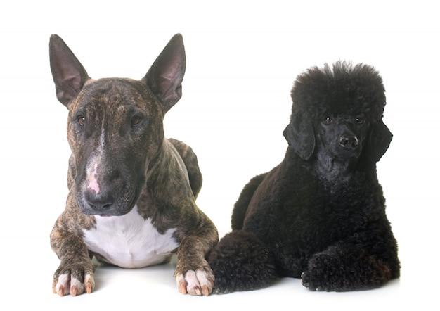 Caniche enano negro y bull terrier