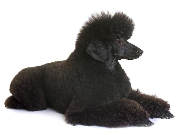Caniche enano negro