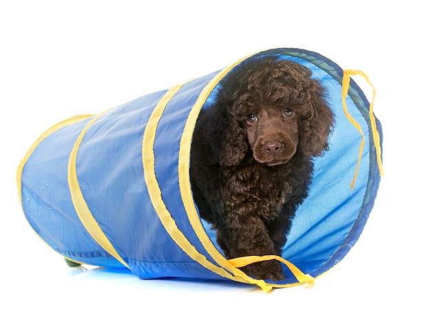 Caniche marrón cachorro en agilidad