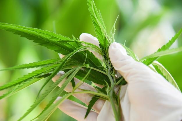 El cannabis deja la planta de marihuana a mano y la naturaleza de fondo verde.