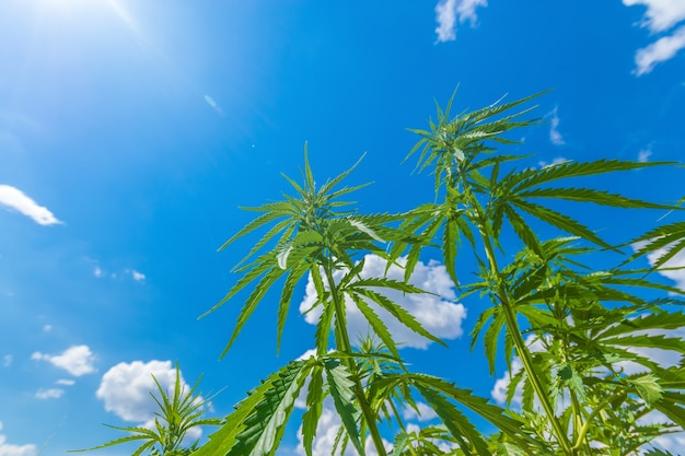 El cannabis se extiende hacia el cielo / el cannabis crece al aire libre